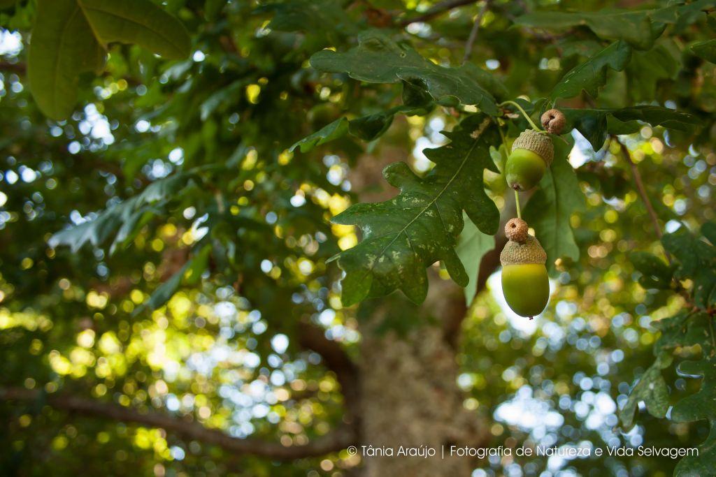 2014-09-13 Carvalho Alvarinho (Quercus robur) (1)
