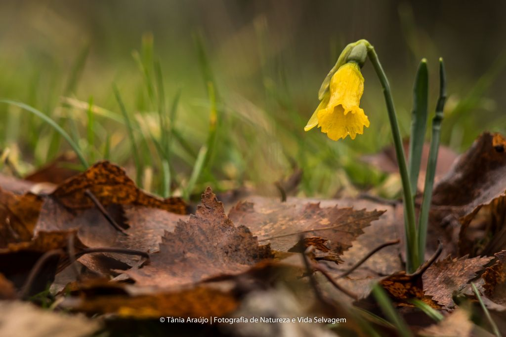 2016-01-09 Narciso (Narcissus asturiensis) SE (15)