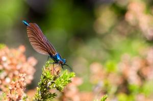 Libelinha (Calopteryx virgo)