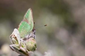 Borboleta-Rubi (callophrys rubi)