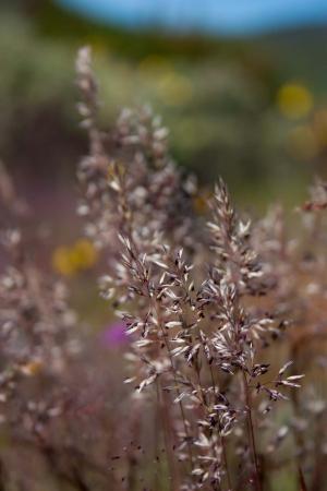 Erva-pichoneira (Corynephorus canescens)