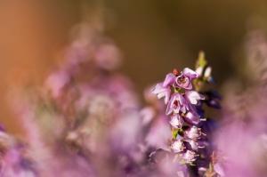 Urze-Torga (Calluna vulgaris)