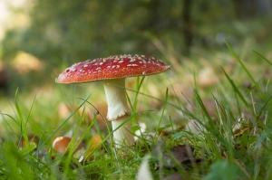 Cogumelo Amanita-Mata-Moscas (Amanita muscaria)
