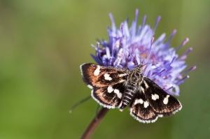 Borboleta (Eurrhypis pollinalis)