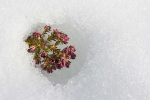 Urze-Vermelha na neve