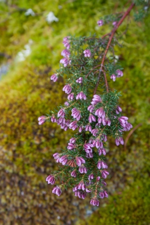 Urze-Vermelha (Erica australis L. subsp. australis)